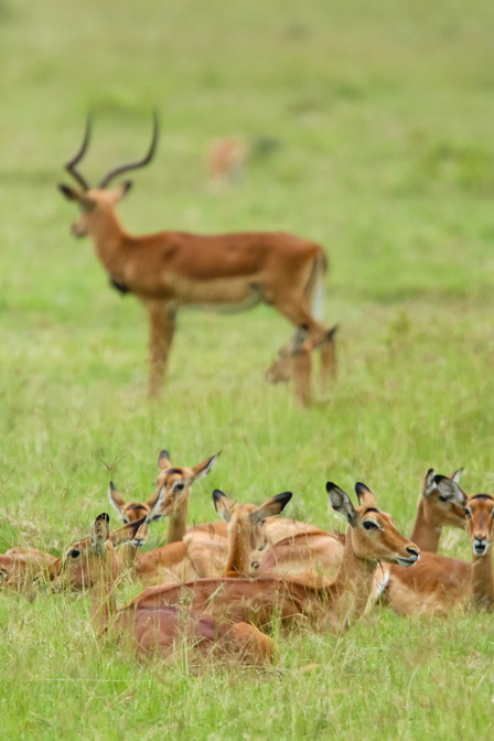 Impala, Kenya