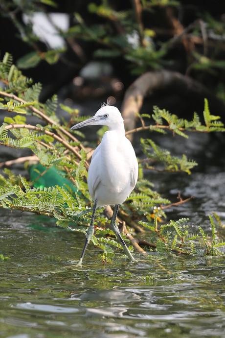 Little Egret, Ngamba Island, Uganda