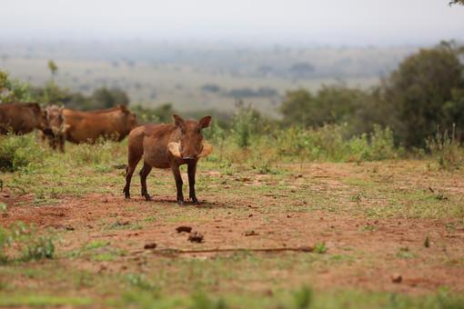 Pumba (Warthog), Sheldrick Widlife Trust, Nairobi, Kenya