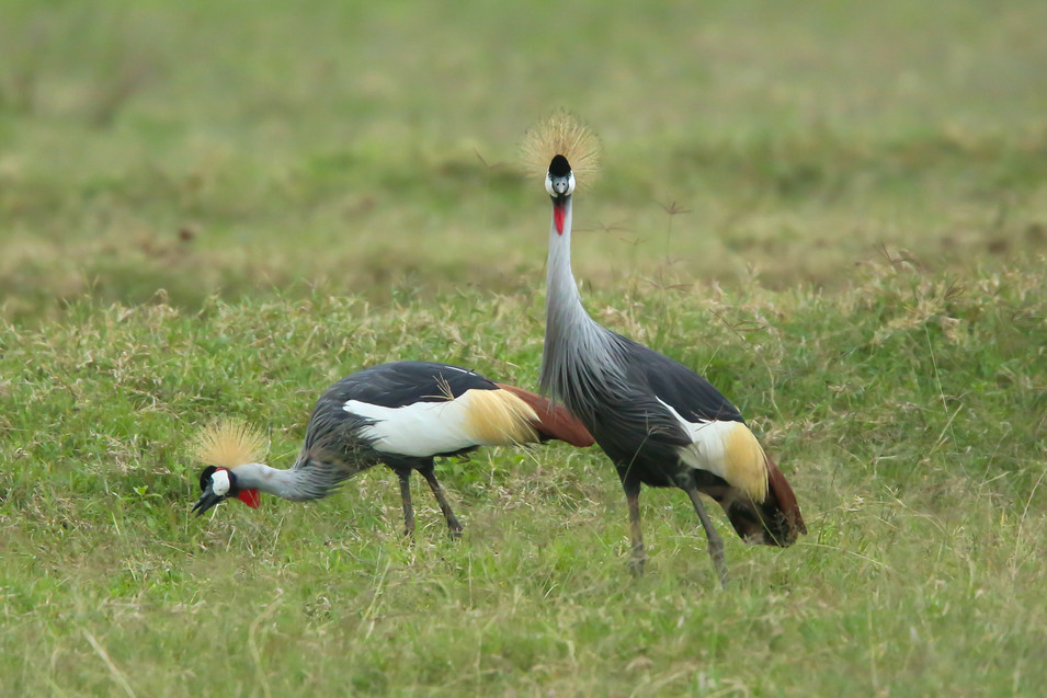 Grey Crowned Crane, Lake Nakuru, Kenya
