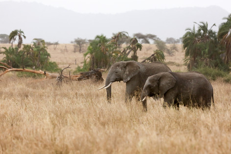 Elephants, Serengeti, Tanzania