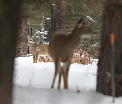 White Tailed Deer, USA