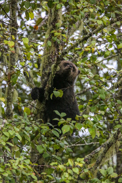 Grizzly Bear, Great Bear Rainforest, BC, Canada