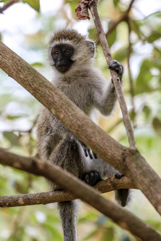 Vervet Monkey, Tanzania