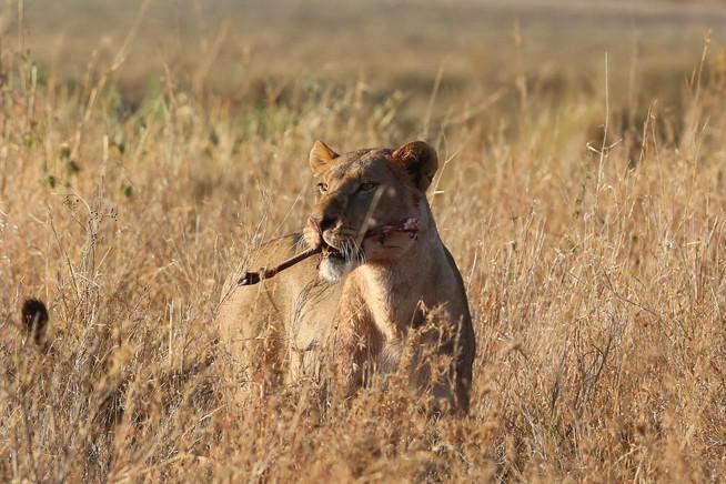 Lion, TanzaniaLion, Tanzania