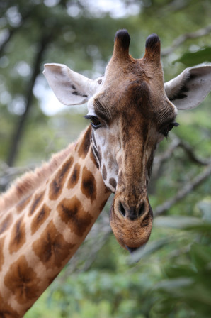 Northern Giraffe, Nairobi, Kenya