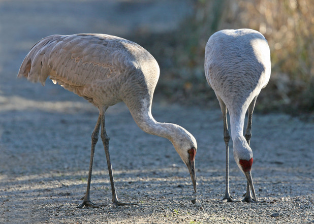 Sandhill Cranes, BC, Canada