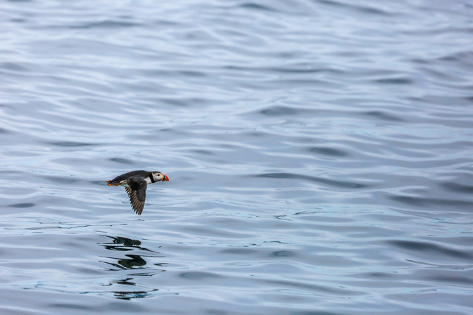 Atlantic Puffin, Newfoundland, Canada