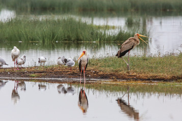 Yellow-Billed Stork, Lake Nakuru, Kenya