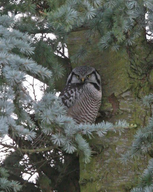 Northern Hawk Owl, BC, Canada