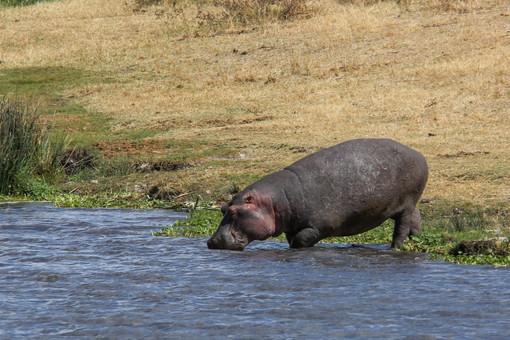 Hippo, Ngorongoro Crater, Tanzania