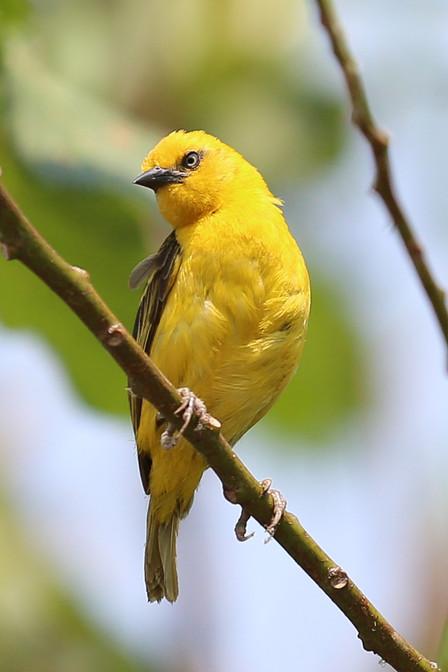 Yellow Weaver, Ngamba Island, Uganda