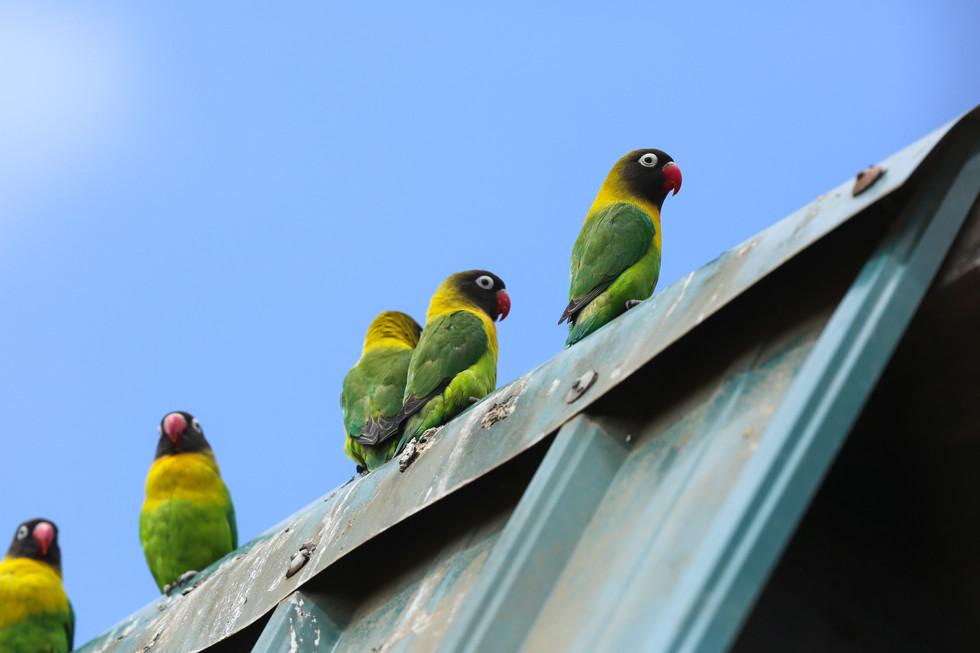 Yellow Collared Love Birds, Tanzania