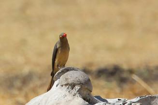 Red-Billed Oxpecker, Ngorongoro Crater, Tanzania