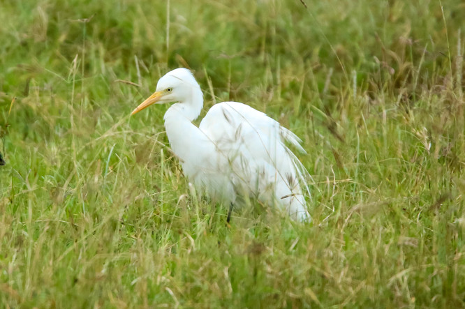 Cattle Egret, Lake Nakuru, Kenya