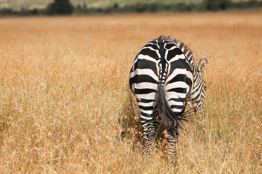 Zebra, Kenya