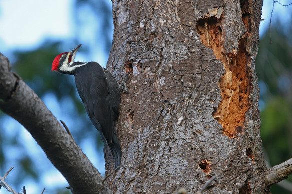 Pileated Woodpecker, BC, Canada