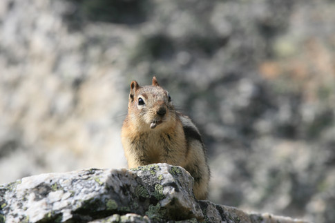 Chipmunk, Rocky Mountains, Canada
