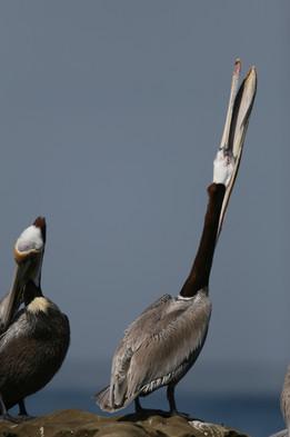 Brown Pelican, San Diego, California, USA