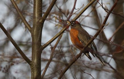 Robin, BC, Canada