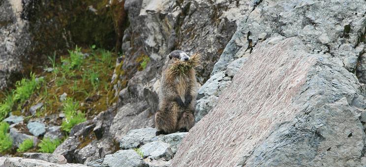 Marmot, Rocky Mountains, Canada