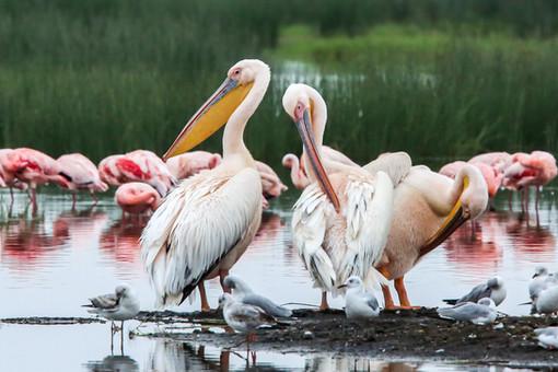 Pelicans, Kenya