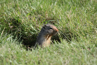 Ground Squirrel, New Mexico, USA