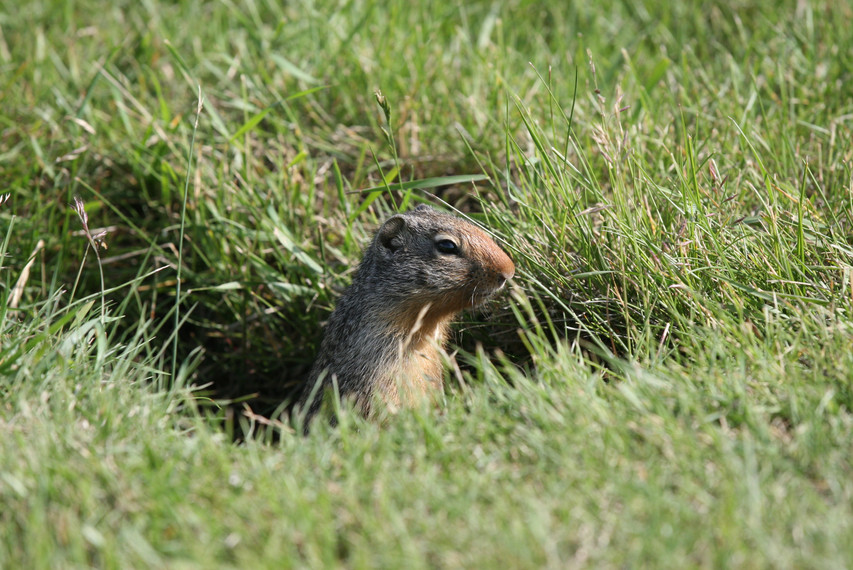 Ground Squirrel, New Mexico, USA