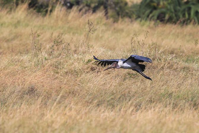 Marabou Stork, Masai Mara, Kenya