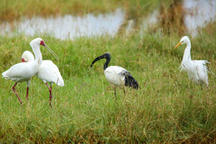 African Spoonbill, Sacred Ibis & Cattle Egret, Lake Nakuru, Kenya