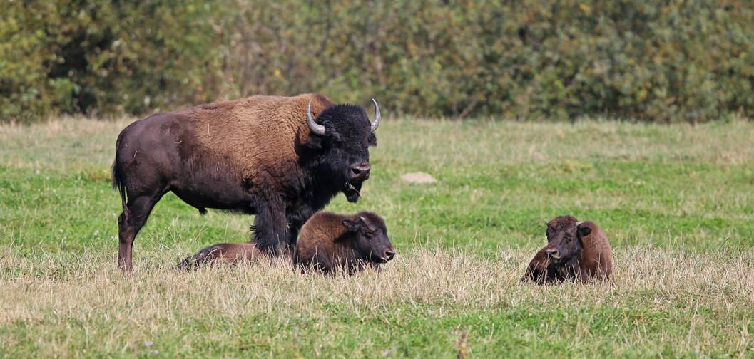 Bison, Montana, USA