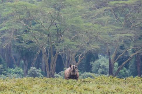 Rhino, Kenya