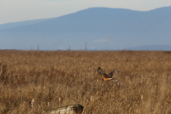 Northern Harrier, BC, Canada
