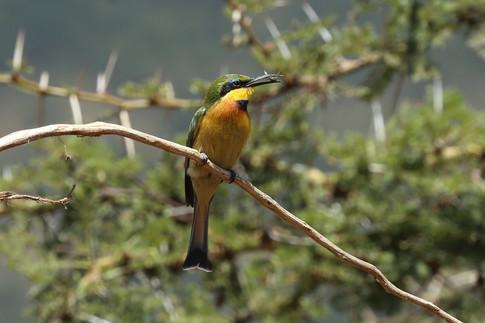 Little Bee-Eater, Ngorongoro Crater, Tanzania