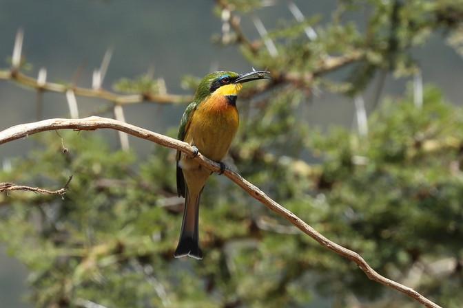 Bee-Eater, Tanzania