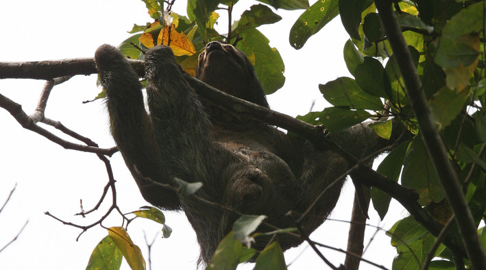 Sloth, Manuel Antonio National Park, Costa Rica