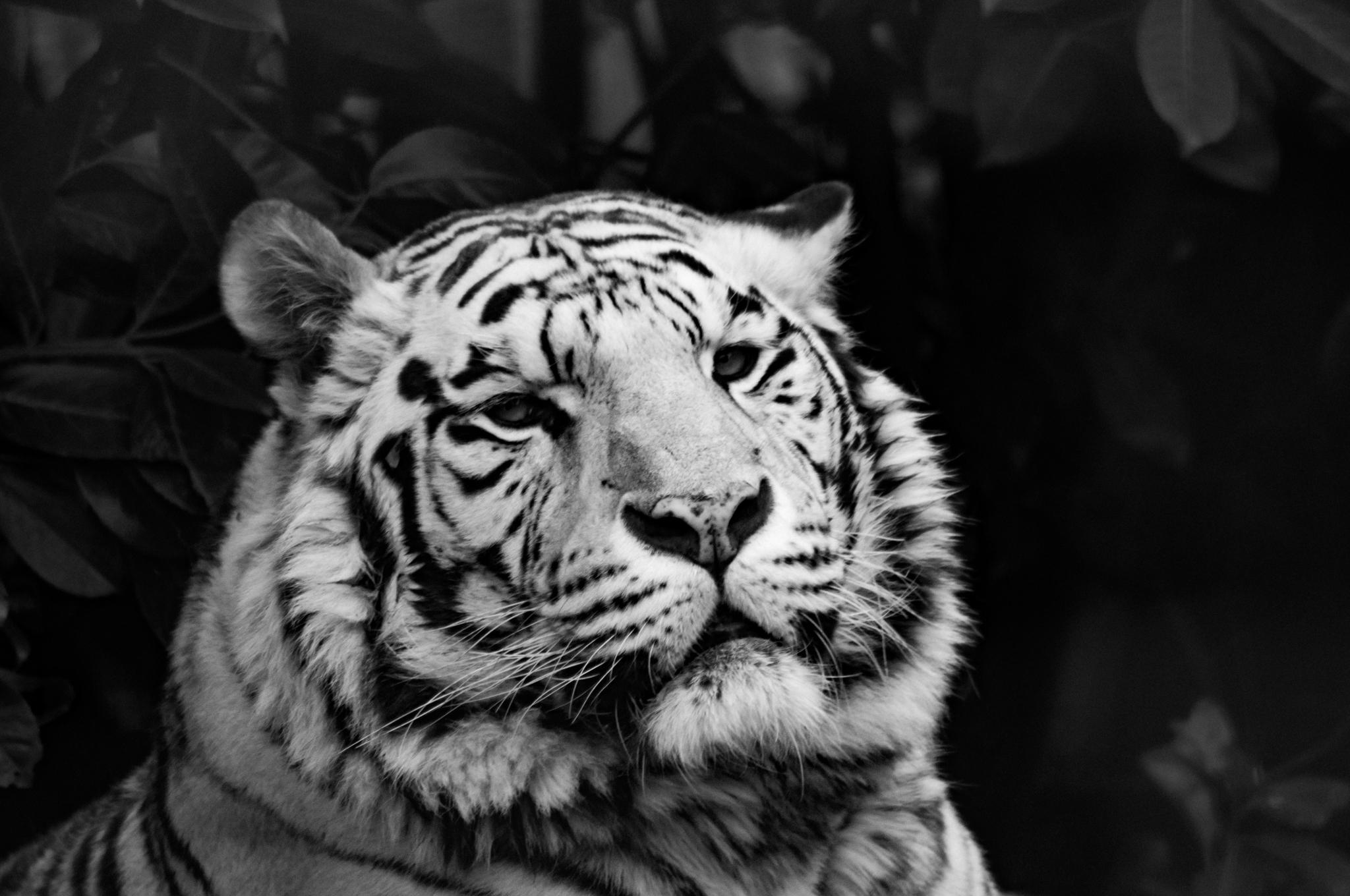 White Tigar