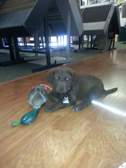 A duck dog from the start!