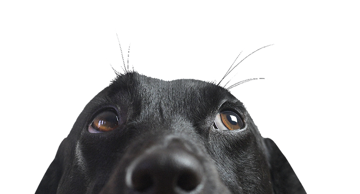 close up of black dog looking up