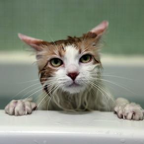 Você deve dar banho em seu gato?