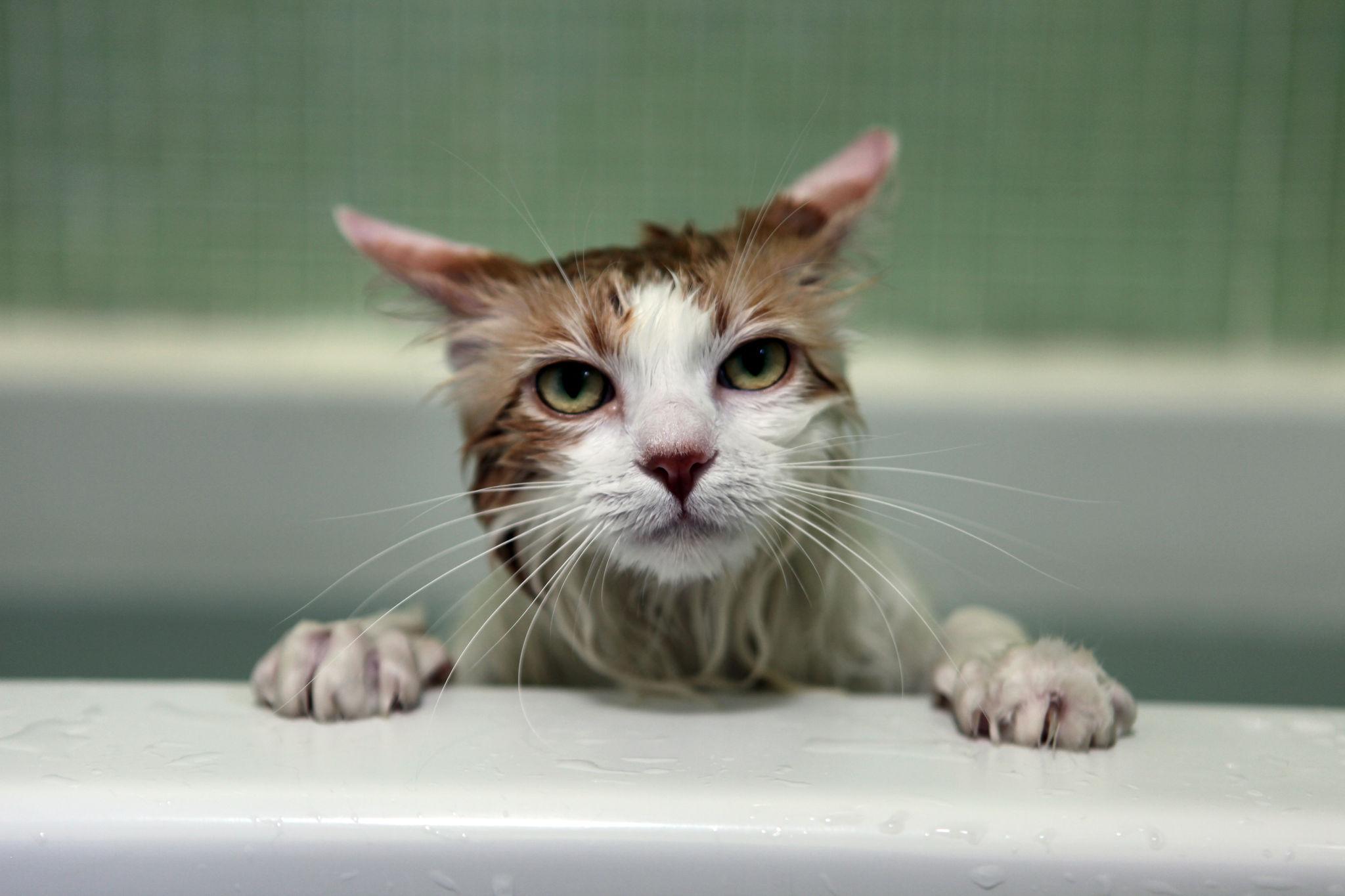 Sedating a cat to groom