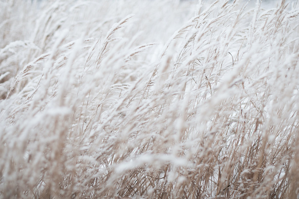 White wheat plants
