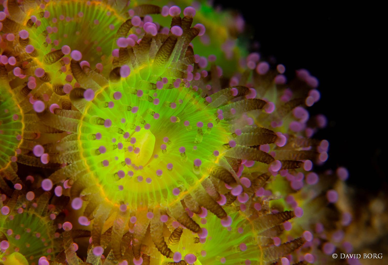 226 - Corynactis viridis