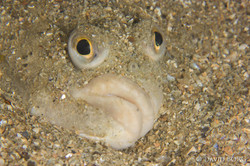 39 - Pleuronectes platessa