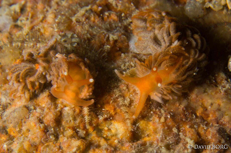 203 - Aeolidiella sanguinea