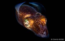 23 - Sepiola atlantica