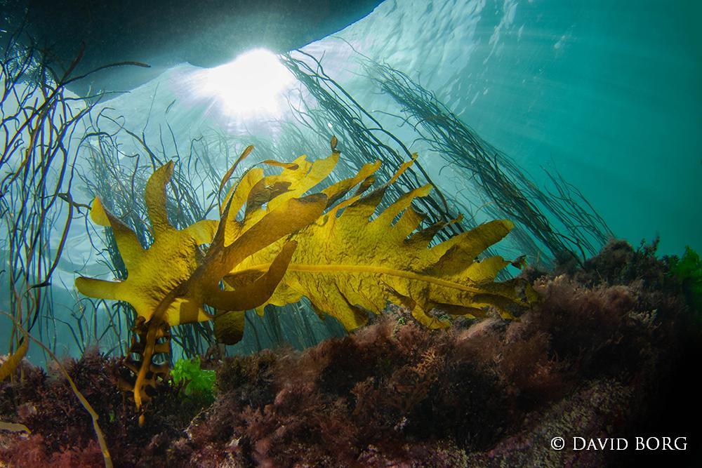 5-Undaria pinnatifida (wakame)