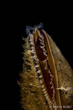 25 - Mytilus edulis