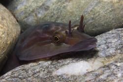 14- Lepadogaster purpurea