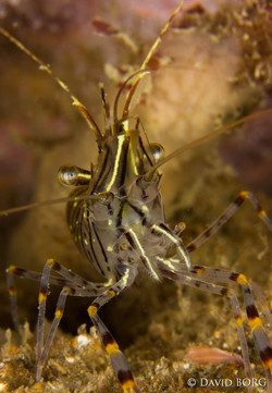 10 - Palaemon serratus